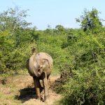 Elefant Udawalawe Safari