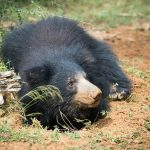 Yala safari Sloth Bear leppebjørn