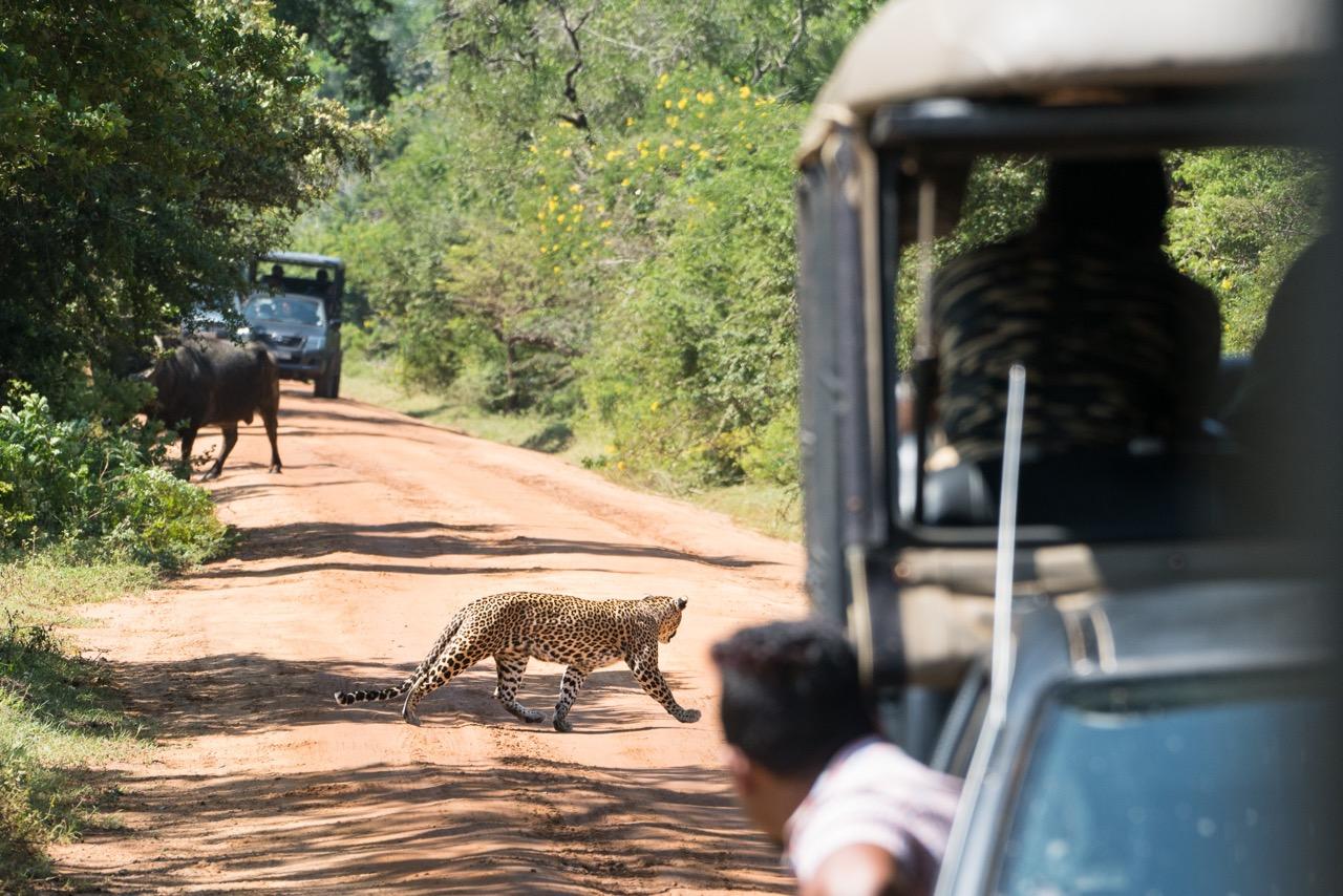 Sri Lanka Safari Yala Leopard