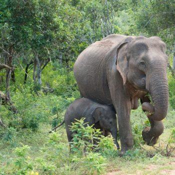 Elefanter på Safari Sri Lankak