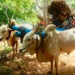 landsby Dambulla oksekjerre landsbyutflukt