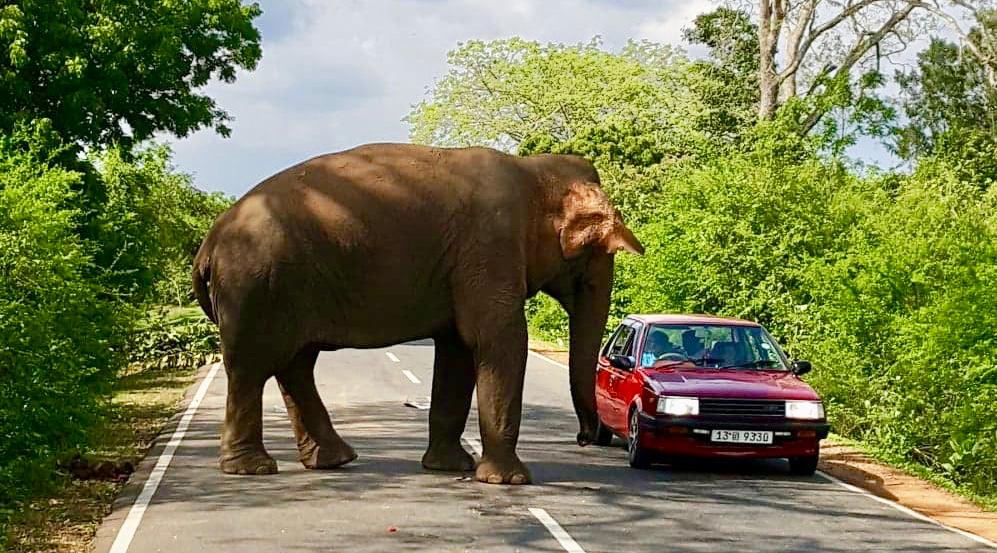 Elefant veien Bil Sri Lanka