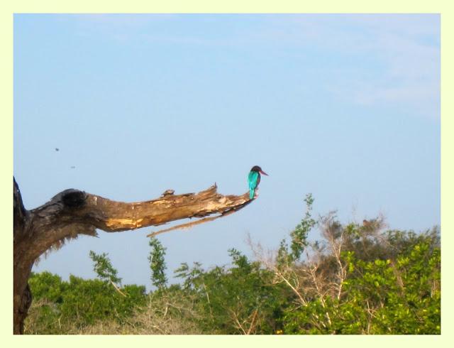 Safari i Yala nasjonalpark Kingfisher
