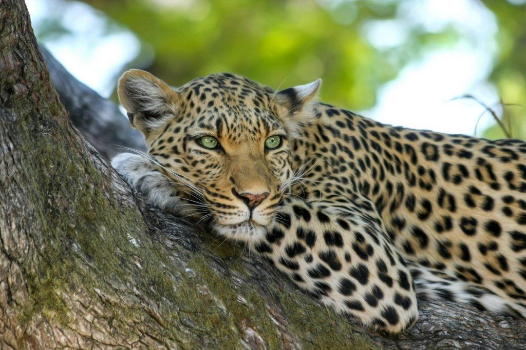 leopard safari yala nasjonalpark